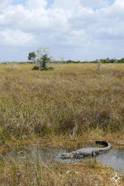 American Alligator in Gator Hole, freshwater marsh, river of seagrass, Dwarf Bald Cypress Trees,Shark Valley, Everglades, Florida