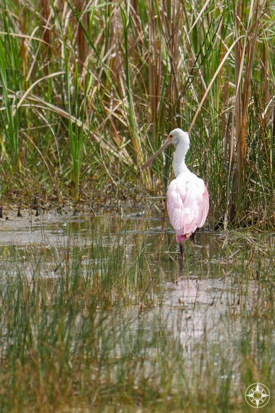 Roseate spoonbill, the pink bird seen in the Everglades