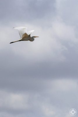Great White American Egret flying across cloudy sky