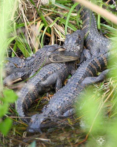 Pile of baby gators sleeping - with one eye open.