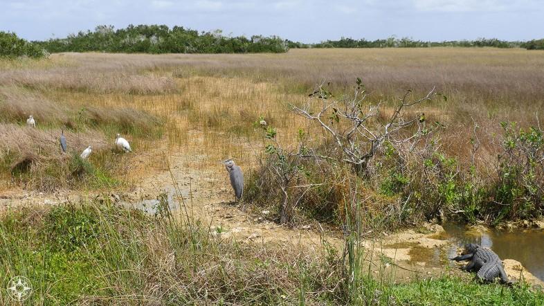 Wood Stork, Blue Heron, Snowy Egret, Great Blue Heron, American Alligator, Shark Valley, Everglades, Florida