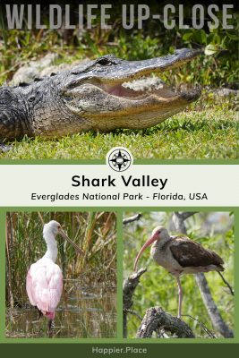 Wildlife up-close, alligator, pink roseate spoonbill, brown juvenile white ibis, Shark Valley, Everglades National Park, Florida, USA, Happier Place