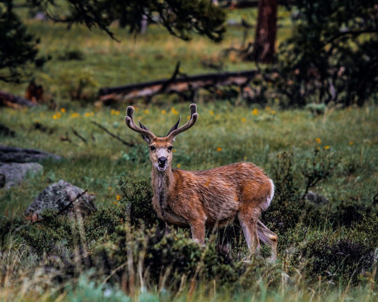 Talking deer, wildlife photography tips for beginners by National Park Nomad Mike East for Happier Place