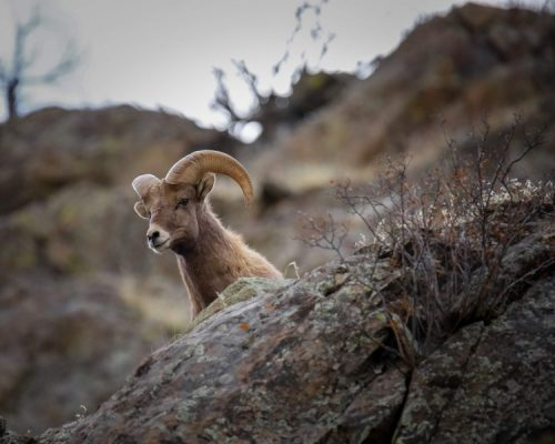 Bighorn Sheep overlooking cliff, example for shallow depth-of-field tips for beginners in wildlife photography, Happier Place