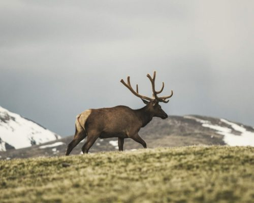 Elk Bull in the mountains