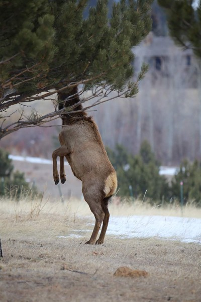 Elk on two legs hiding head in tree, photo by Mike East, getting started in wildlife photography guide, HappierPlace