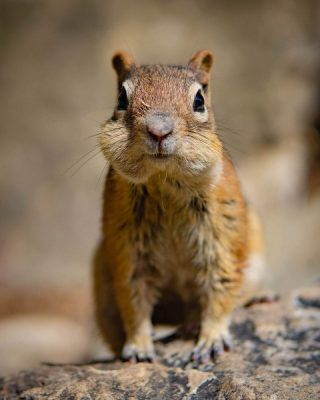 chipmunk with full cheeks, shallow depth-of-field, Happier Place nature photography tips by Mike East