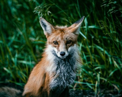 Fox in the grass, beginners Happier Place guide to wildlife photography by Mike East