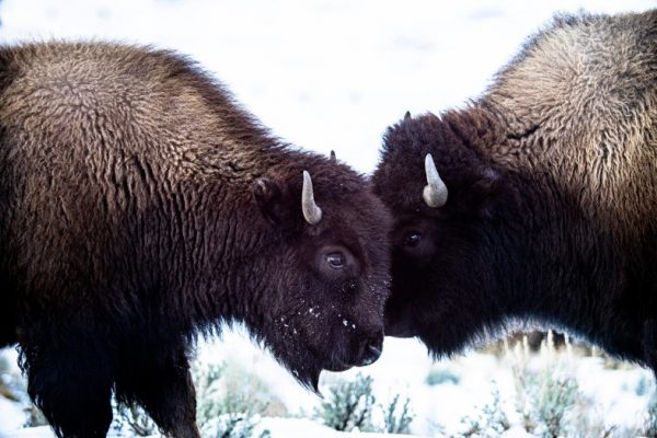 Two bison head-to-head in the snow, Yellowstone National Park, wildlife photography beginners guide, Happier Place, photo by Mike East