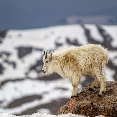 Mountain Goat on rock with snow, Mount Evans, Colorado, Mike East, getting started in wildlife photography guide, Happier Place