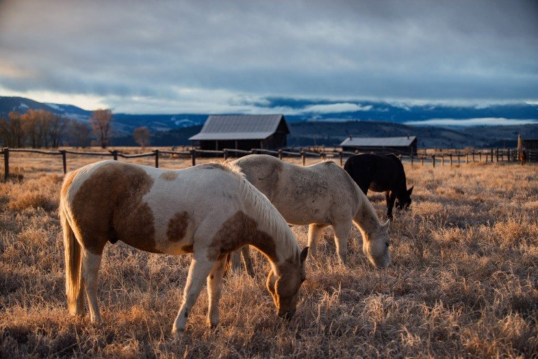 Horses, barns and mountains during Golden Hour in Wyoming, getting started in wildlife photography