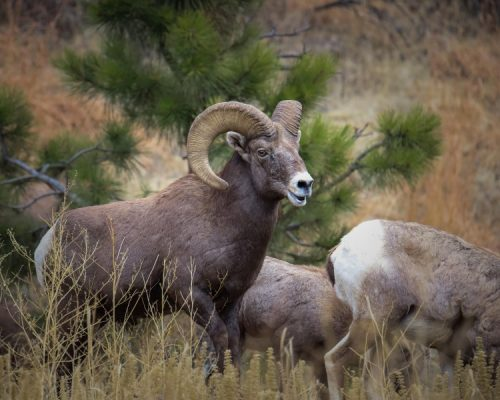 Bighorn Sheep, by Mike East, getting started in wildlife photography