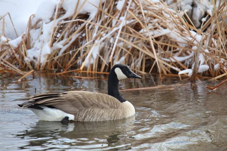 Wild goose on winter pond with snow