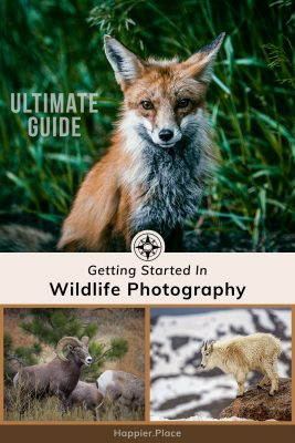 Ultimate guide to wildlife photography for beginners, fox, bighorn sheep, mountain goat, Happier Place