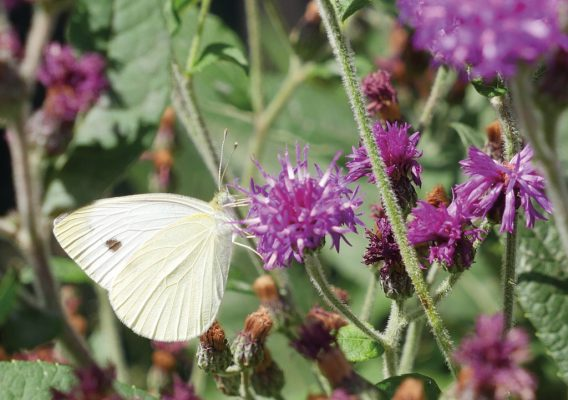 white butterfly on purple flower, greeting card, Happier Place, pic098