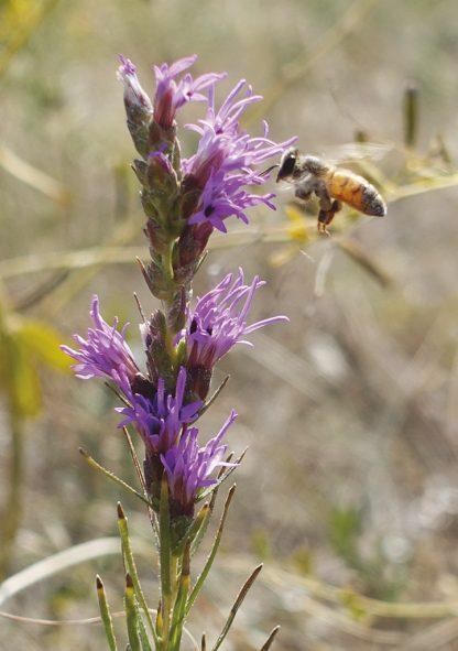 bee in flight, purple wildflower, Colorado, greeting card, pic118, bee purple flower