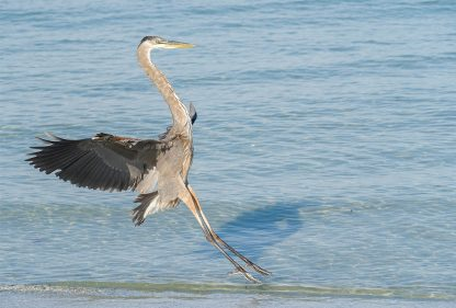 Great Blue Heron landing on the Gulf beach in Florida, pic159: landing heron, postcard, Indian Rocks Beach, Luci Westphal bird photography