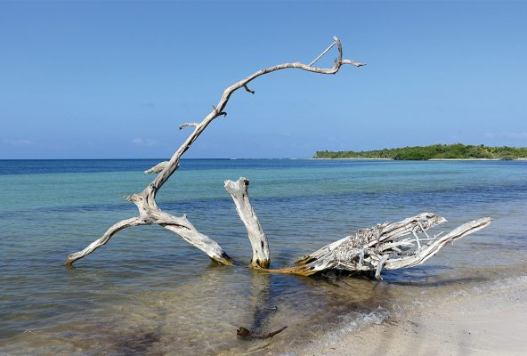 Beached white tree on a Caribbean Sea beach in Sian Kaan, Mexico, pic161: beached tree, postcard