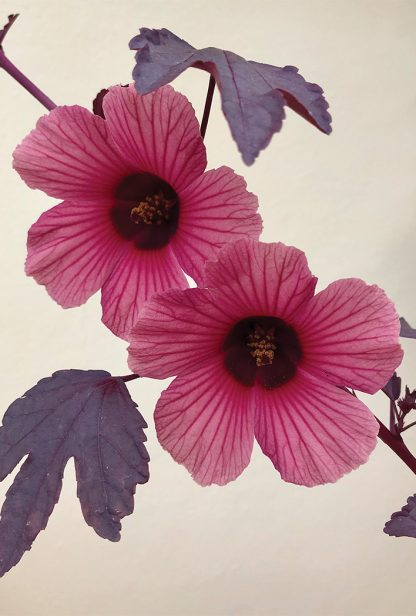 Pink Cranberry Hibiscus blooms and purple leaves against yellow wall. pic162: cranberry hibiscus wall, postcard
