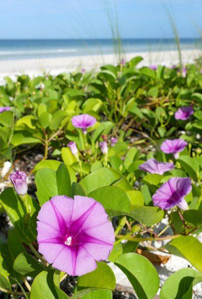 Purple Pink Beach Morning Glory, Honeymoon Island, Florida, pic163: beach morning glory