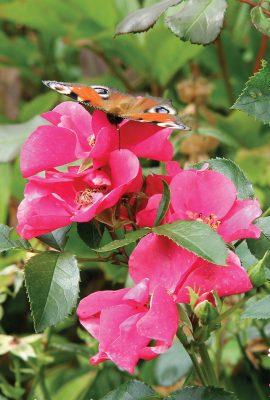 Tagpfauenauge, European peacock butterfly on pink roses in Germany, pic164: butterfly on pink roses, postcard