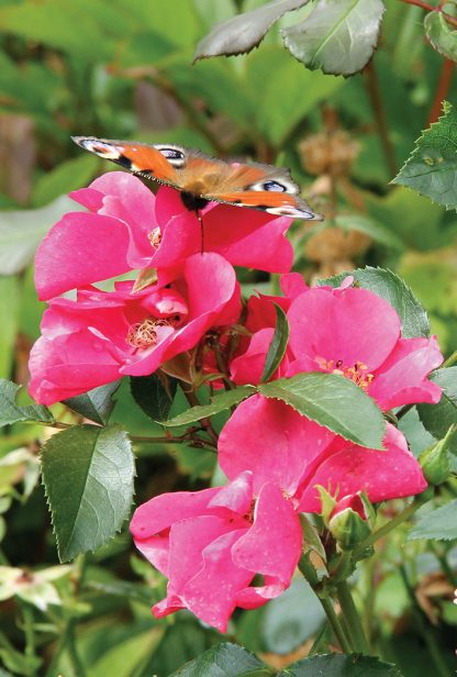 Tagpfauenauge, European peacock butterfly on pink roses in Germany, pic164: butterfly on pink roses, postcard