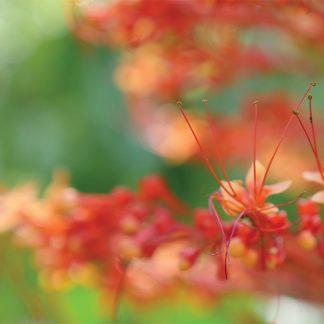 Bokehlicious macro close-up of pagoda bloom, shades of orange and red, Sunken Gardens, Florida, pic165: orange pagoda bloom close-up, postcard