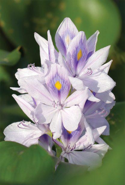 light purple, big bloom, pond, lake, water plant, pic166: water hyacinth, Florida, HappierPlace, postcard