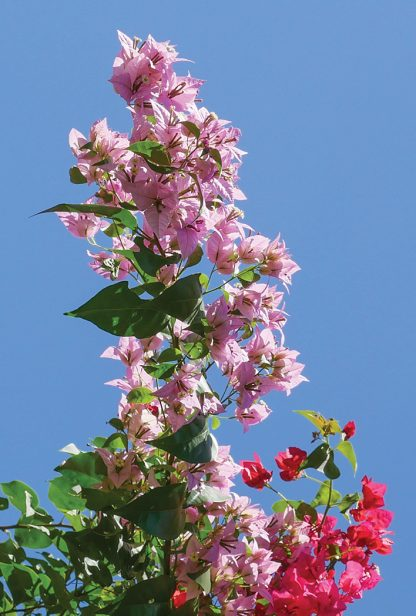 light pink bougainvillea stretching tall against blue sky, Sunken Gardens, Florida, pic167: tall bougainvillea, postcard