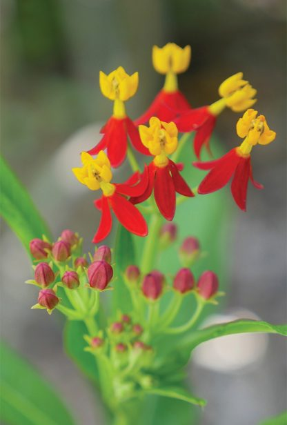 Yellow and red blooms, Sunken Gardens, St. Pete, Florida, pic168: tropical milkweed, postcard