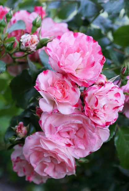 Pink roses blooming in Germany, pic169: pink rose bow, postcard