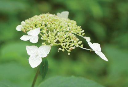 White blooms on green wildflower, Waldhortensie, pic173: wild white hydrangea, forest, Appalachian Mountains, Georgia, postcard