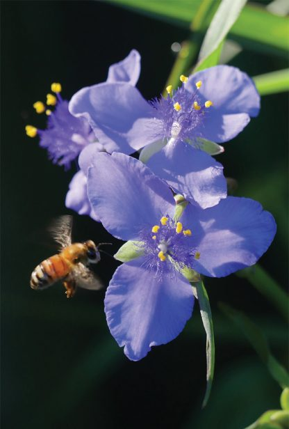 Bee in flight, purple, blue spiderwort, wildflower, pic174: bee on blue spiderwort, postcard