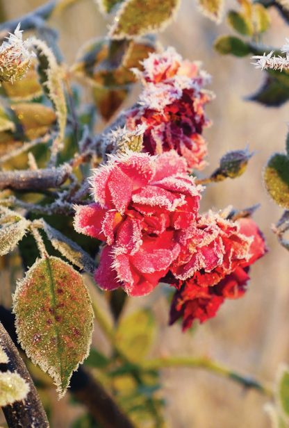 red roses covered in hoar frost, pic175: frosted roses, postcard