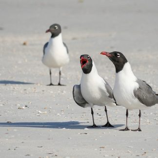 Three laughing gulls, yelling, listening, ignoring on the beach, pic177, laughing gull trio, postcard, Florida, Happier Place