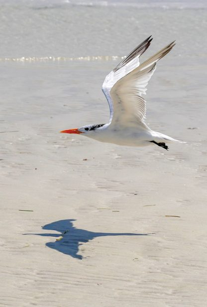 Tern and its menacing shadow over Three Rooker Island (pic178: flying tern shadow)