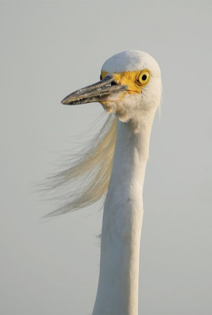 Snow Egret Close-Up, long head feathers blowing, white bird, long neck, yellow bill, pic179: snowy egret CU feathers, vertical, postcard