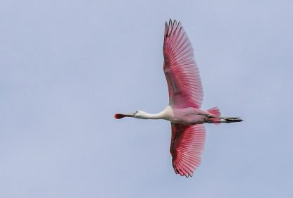 Pink Roseate Spoonbill flying overhead against blue sky, Florida, pic180, HappierPlace, postcard