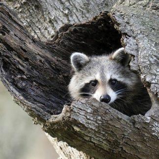 Raccoon looking out of its tree hole, Saint Petersburg, Florida, pic181: raccoon in tree, postcard