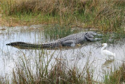 Alligator and Snow Egret, Shark Valley, Everglades National Park, Florida, pic182: gator and egret, postcard