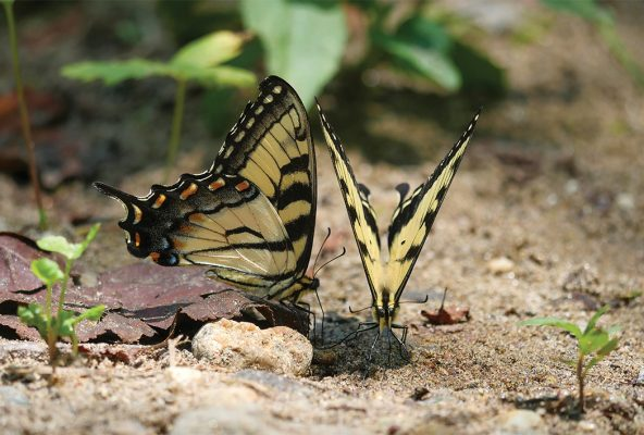 Yellow and black Eastern Tiger Swallowtails mud-puddling, pic183: two yellow butterflies, postcard, Tallulah River, Georgia