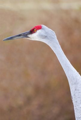 sandhill crane face, large grey bird, long neck, red head, long black beak, pic187