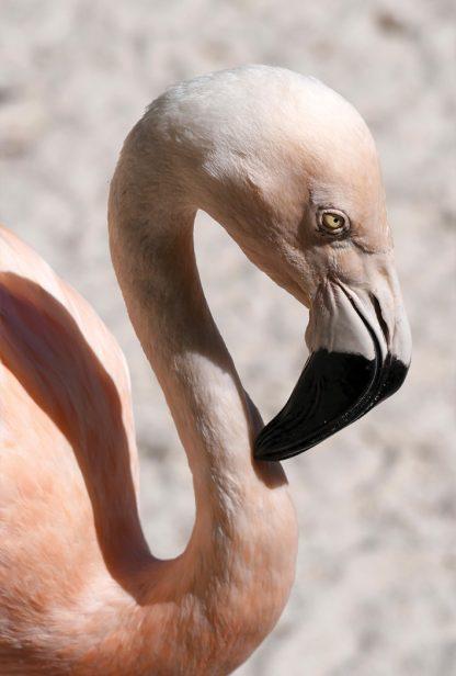 flamingo head, light pink, black and white beak, curved neck, Sunken Gardens, St. Petersburg, happier place, postcard, pic188