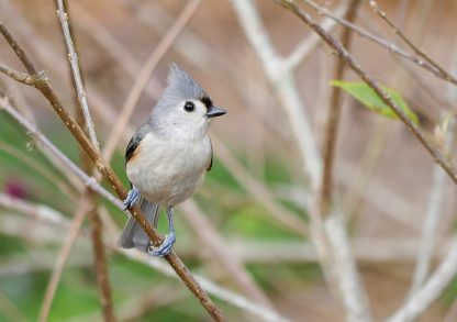 Tufted Titmouse, grey bird, yellow accent, grey head feathers, small songbird, happier place, greeting card, pic189