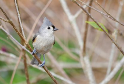 Tufted Titmouse, grey bird, yellow accent, grey head feathers, small songbird, happier place, postcard, pic189