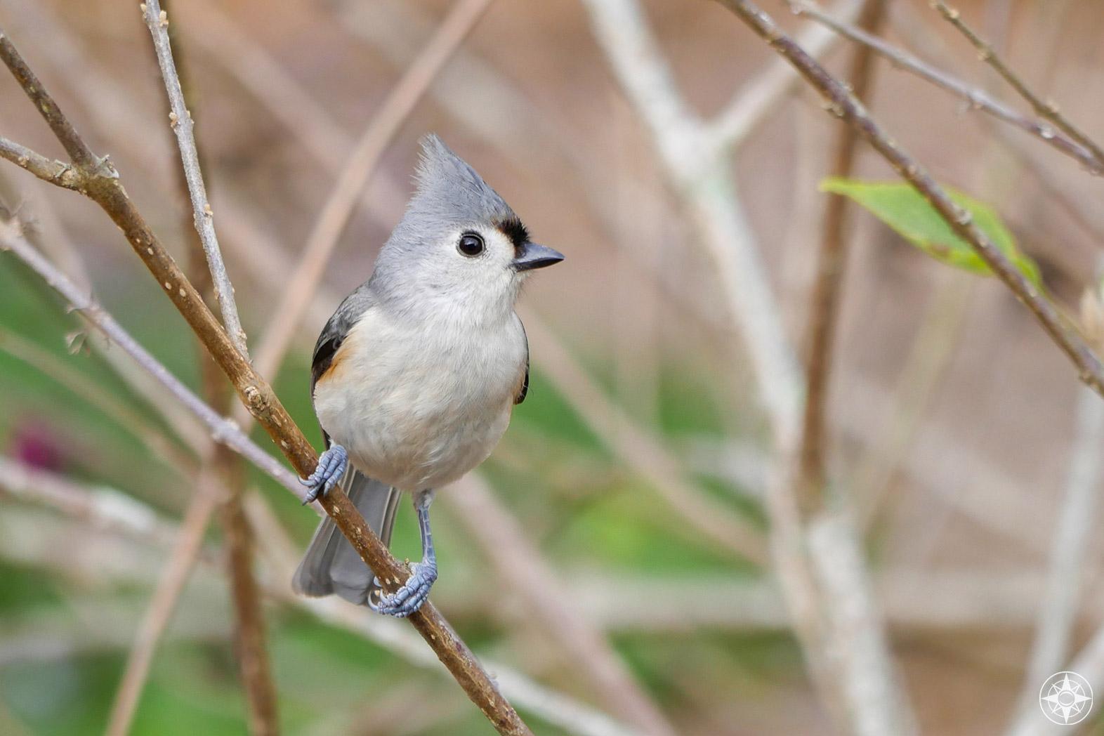 Tufted Titmouse, shrub, beauty bush, Great Backyard Bird Count, Happier Place