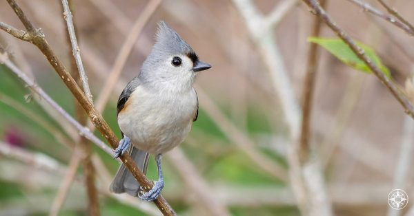 Tufted Titmouse, shrub, beauty bush, Great Backyard Bird Count, Happier Place