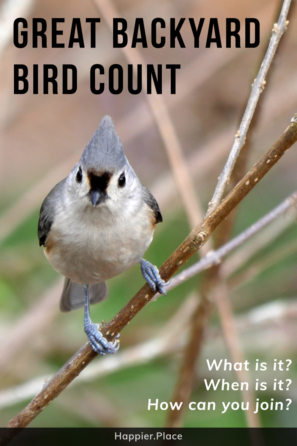 Tufted Titmouse representing the Ultimate Guide to the Great Backyard Bird Count and how to participate and win. What is it? When does it take place? How can you join the fun?