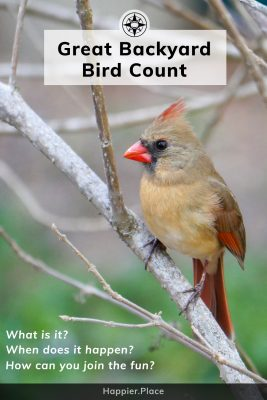 Female Red Cardinal, Ultimate Guide to theGreat Backyard Bird Count and how to participate and win. #HappierPlace