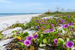 Natural Beach Paradise: beach morning glory, sea oats, birds, and wide white beach, Honeymoon Island State Park, Florida